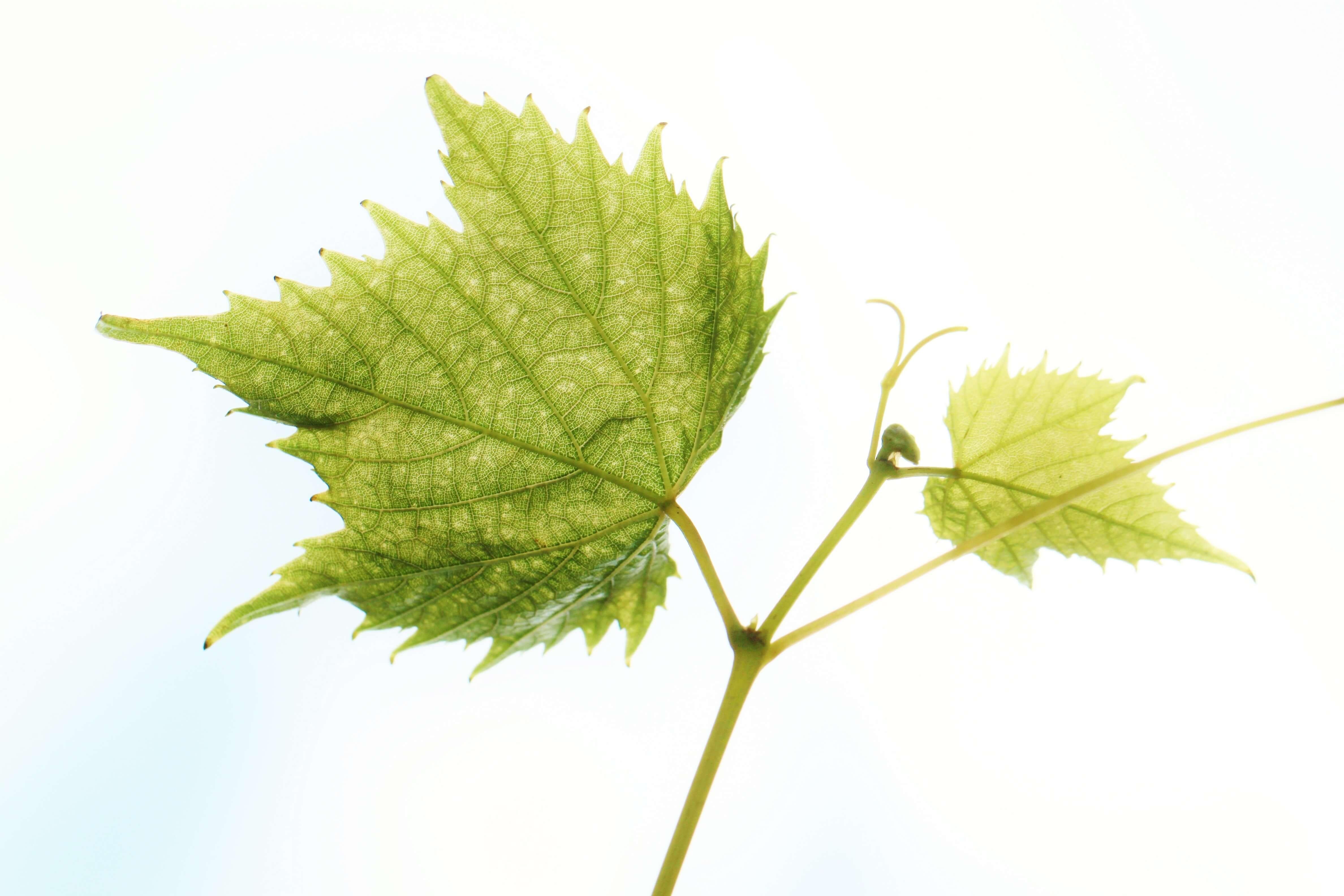 wine-leaf-504830